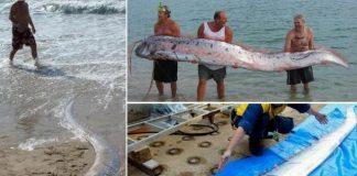 Ikan Oarfish Terdampar.