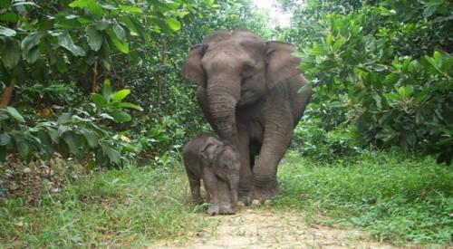Gajah Liar.