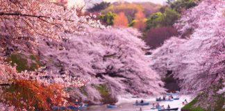 Cherry Blossom di Tokyo.