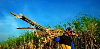 Pendapatan Petani Tebu Bisa Menurun Jika Menggunakan Sistem Beli Putus.