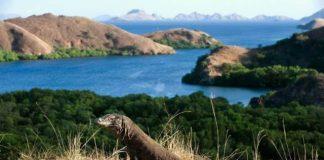 Cerita Suku Komodo di Era Modernisasi dan Popularitas Komodo.
