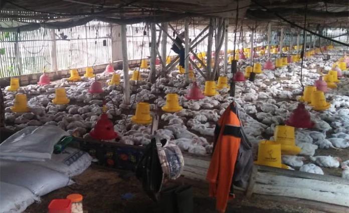 Peternak Ayam di Sulsel Terancam Gulung Tikar.