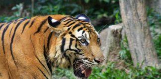 harimau sumatra ilustrasi