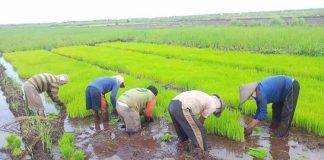 ilustrasi petani padi