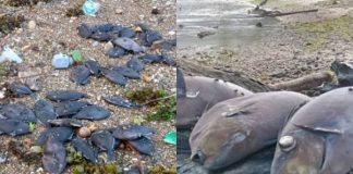 Fenomena Ribuan Ikan Mati, Warga Pesisir Ambon Khawatir Tsunami.