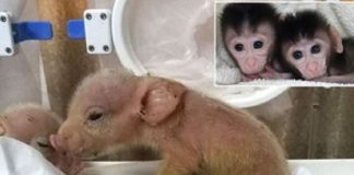 hibrida babi-monyet pertama di dunia.