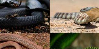 Ilustrasi Ciri-ciri ular berbisa.