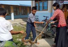 Seorang Ibu Guru Tangkap Ular Piton.