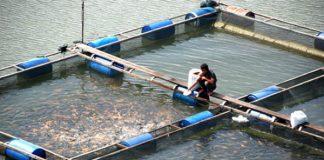 Pembudidaya Ikan Kecil Terdampak Banjir Dijamin Asuransi.