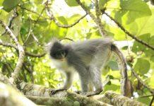Mengenal Surili, si Monyet Langka Beruban.