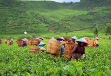 PTPN III Membidik Peningkatan Produktivitas Tanaman Teh.