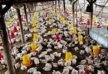 Jateng Mampu Produksi Ayam Broiler 40 Juta Ekor/Bulan