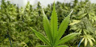 Usulan Legalisasi Ganja.