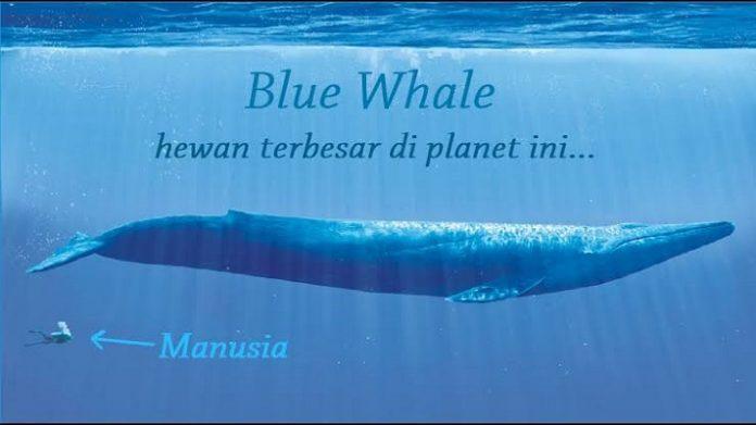 Ikan Paus Biru (Blue Whale).