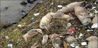 Ratusan Babi Mati Mendadak di Perbatasan NTT-Timor Leste.