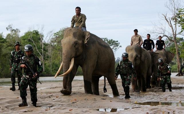 Prajurit TNI AD Tewas Terinjak Gajah Liar yang Mengamuk.