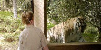 Harimau di Kebun Binatang New York Positif Virus Corona.