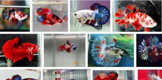 Ikan Cupang Multicolor.
