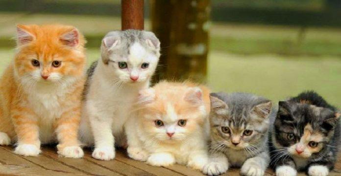 Daftar Jenis Kucing Paling Populer di Indonesia.