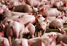 Sains Dalam Al Quran, Penjelasan Babi Haram.