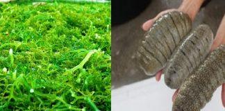 Rumput Laut dan Teripang.