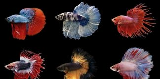 Jenis Ikan Cupang Hias.