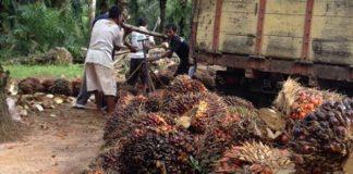 Komoditas kelapa sawit.
