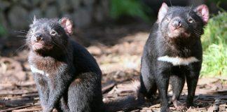 Tasmania Devils.